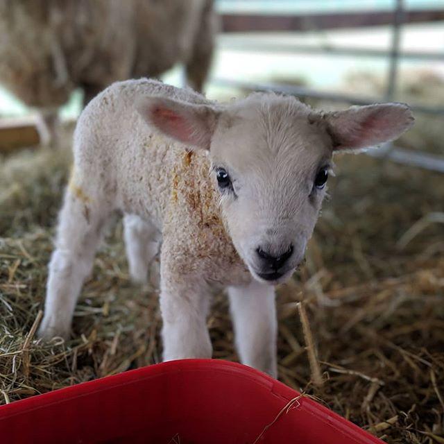 Lambs! Roger's Farm in Purton
